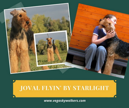 Erdel terijer Joval Flyin By Starlight